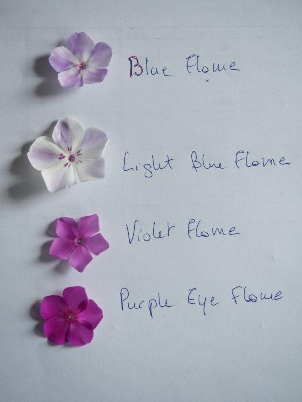 Comparaison des Phlox paniculata rouges et Blue Flame/Light Blue Flame (et autres) 43170931284_fc60e634c1_o