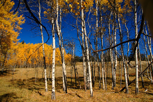 Birch trees in autumn up in the hills above Merritt, Canada