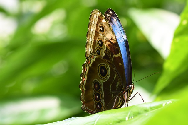 Morpho butterfly at rest (don't be shy, show your colors)