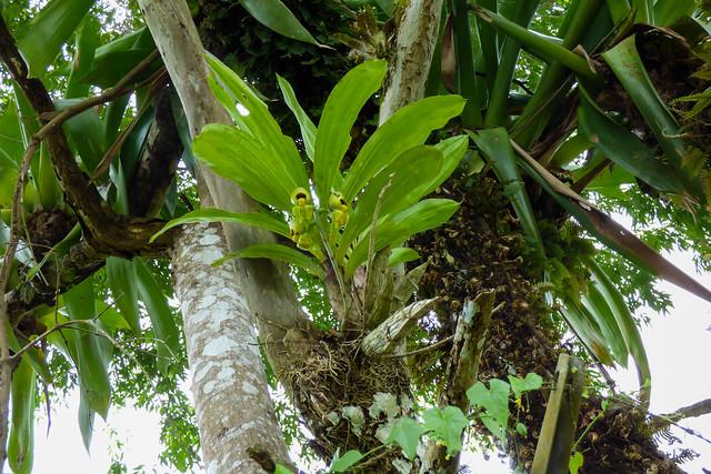 Catasetum viridiflavum female flowers