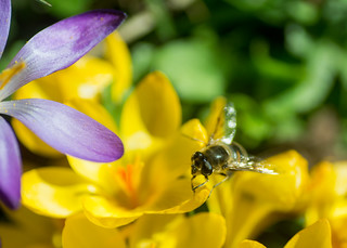 20180326-39a_Bee on Crocuses - Bilton Green (Rugby)
