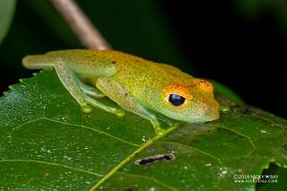 Green bright-eyed frog (Boophis viridis) - DSC_6647