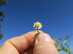 Cotula turbinata flowerhead NC4