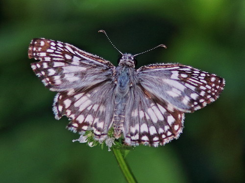 Tropical Checkered-Skipper male 20180808
