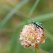 False Oil Beetle (Oedemera nobilis), St Bees Head, Cumbria, England