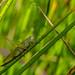Long-winged Cone-head - Conocephalus fuscus