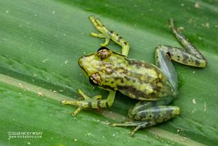 Tsarafidy Madagascar Frog (Guibemantis pulcher) - DSC_7259