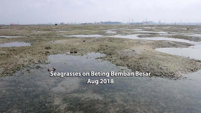 Seagrasses at Beting Bemban Besar, Aug 2018