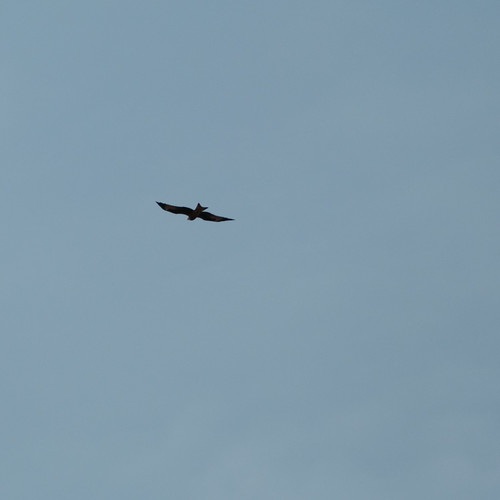 Red kite soaring away, Stratford