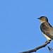 Southern rough-winged swallow - Hirondelle à gorge rousse - Golondrina alirrasposa sureña - Stelgidopteryx ruficollis