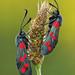 Six-spot Burnet Moths by Alan MacKenzie