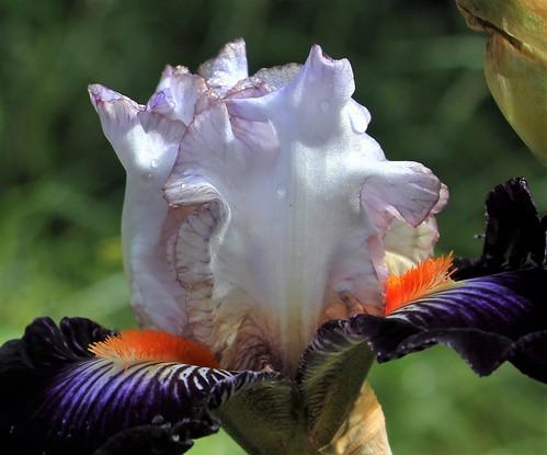 Iris 'Terre à Silex' - Cayeux 2015 42231491194_d623961023