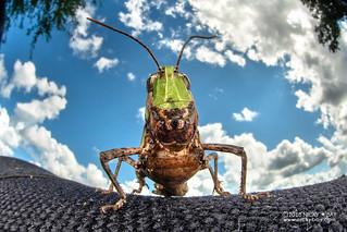Grasshopper - DSC_3340