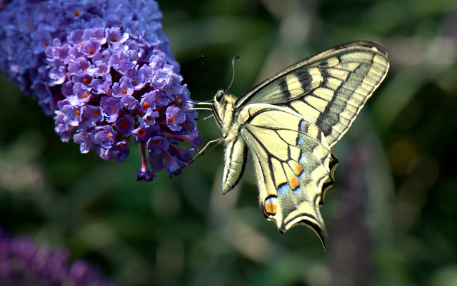 Swallowtail - Macaone (Papilio machaon)_003