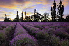 Lavander - Photo of Ennezat
