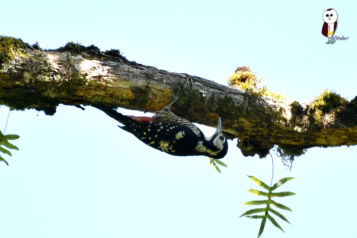 White-backed_Woodpecker_1523