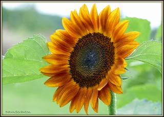 P1380758  Sunflower