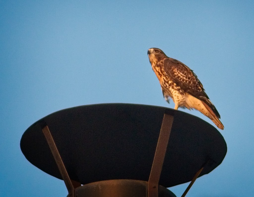 Tompkins red-tail fledgling at sunset