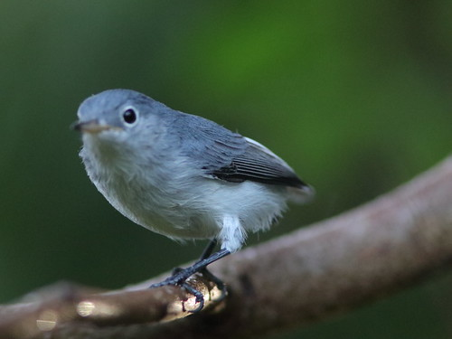 Blue-gray Gnatcatcher 02-20180812