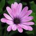 Purple Petals by Cher12861 (Cheryl Kelly on ipernity)