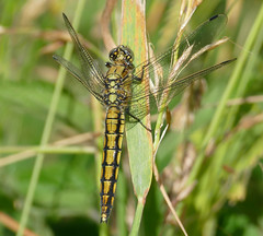 Black-tailed Skimmer (Orthetrum cancellatum) female - Photo of Saires-la-Verrerie