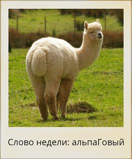 Слово недели:  альпаГовый.  Вычитано у Сергея Сартакова в Хребтах Саянских. | HoroshoGromko.ru