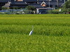 Photo:Great egret (ダイサギ) By Greg Peterson in Japan