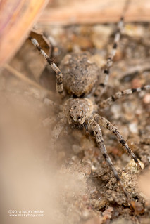 Wolf spider (cf. Evippomma or Evippa sp.) - DSC_2632