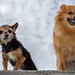 Boo the Pomeranian and Beanz the Miniture Yorkshire Terrier. . .
