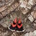 Red Underwing (Catocala nupta).