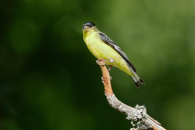 Lesser Goldfinch (m) (4417)
