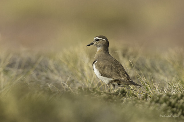 Wee Birds of the Falklands- Rufous-chested Dotterel