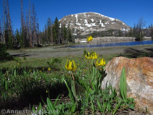 Hope Lake, with a mountain in the background and glacier lilies decorating the foreground, Uinta Mountains, Utah