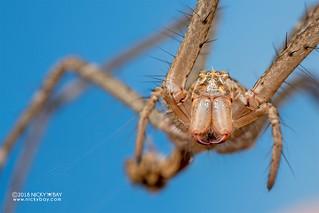 Nursery web spider exuvium (Pisauridae) - DSC_3563