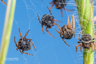 Broad-headed bark spiderlings (Caerostris sp.) - DSC_3533