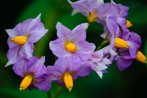 Potato flowers, Bridgnorth Castle Grounds