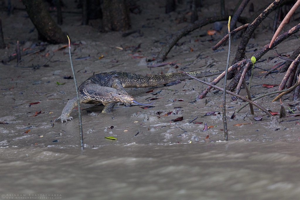 Bengal monitor Lizrd on the river bank in Sunderbans national park