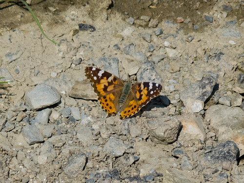 Painted lady on ground