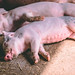 Cuddling piglets