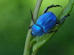 Hoplie bleue (Hoplia coerulea), Florac, Cévennes, France