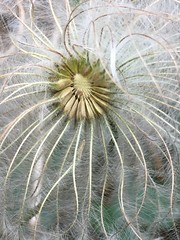 Mountain's flower