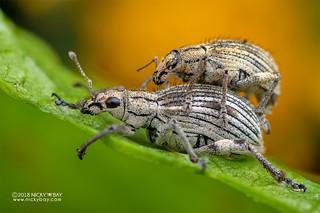 Weevils (Curculionidae) - DSC_6784
