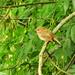 Little brown bird:  7.8.18.
