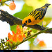 GOLDEN TANAGER Tangara arthus with Erythrina megistophylla in Mindo in Northwestern ECUADOR. Photo by Peter Wendelken. by Neotropical Pete