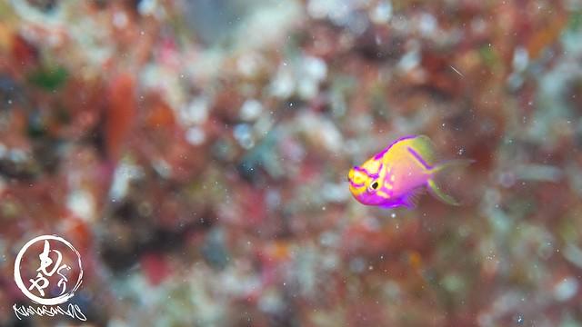 極小ハナゴンベ幼魚ちゃん♪