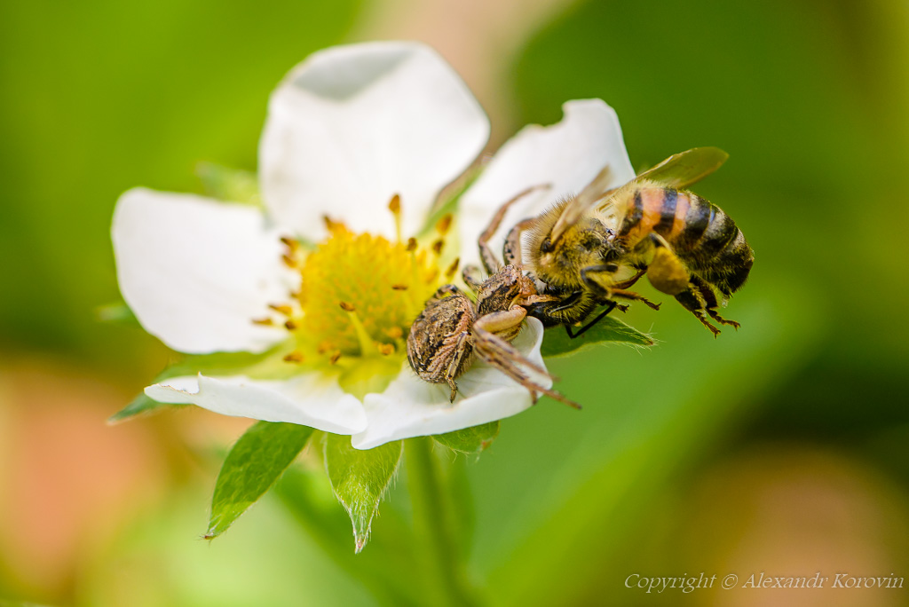 Spider Xysticus caught a bee that pollinated strawberry flowers