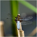 F44-Broad-bodied Chaser-EGP-160618-1