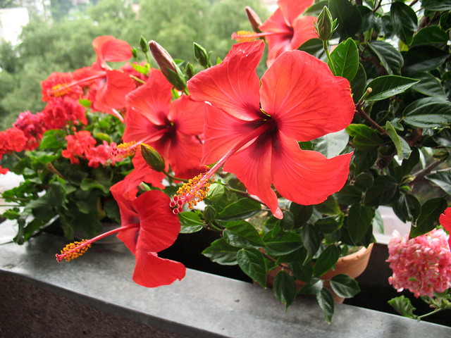 Hibiscus on our balcony