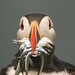 Puffin with sand eels by Steve (Hooky) Waddingham