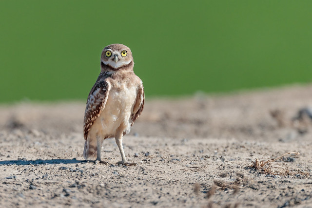 Burrowing Owl Fledgling (Explored), Canon EOS-1D X MARK II, Canon EF 800mm f/5.6L IS